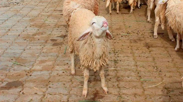 Ценуроз овец: симптомы и признаки, лечение и профилактика