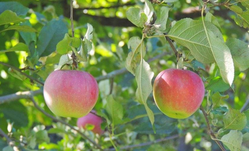 Слава победителям: посадка и уход за яблоней, обрезка и особенности сорта