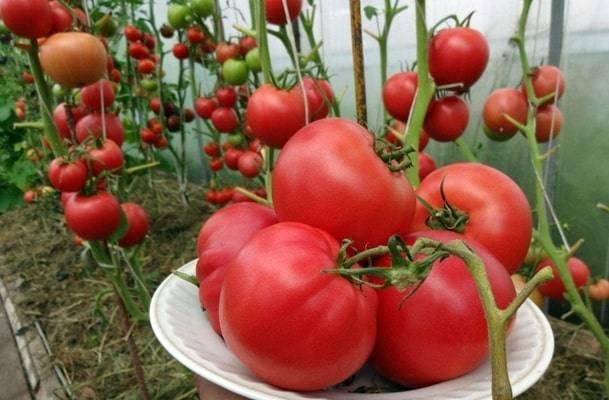 Описание сорта томата Малиновое вино, его характеристика и урожайность