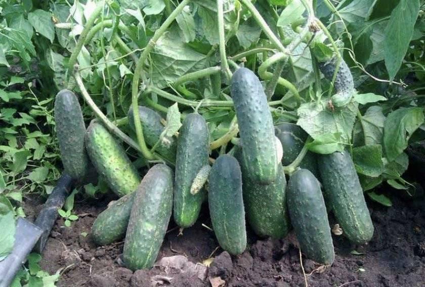 Описание огурцов сорта Патти, их характеристика и выращивание
