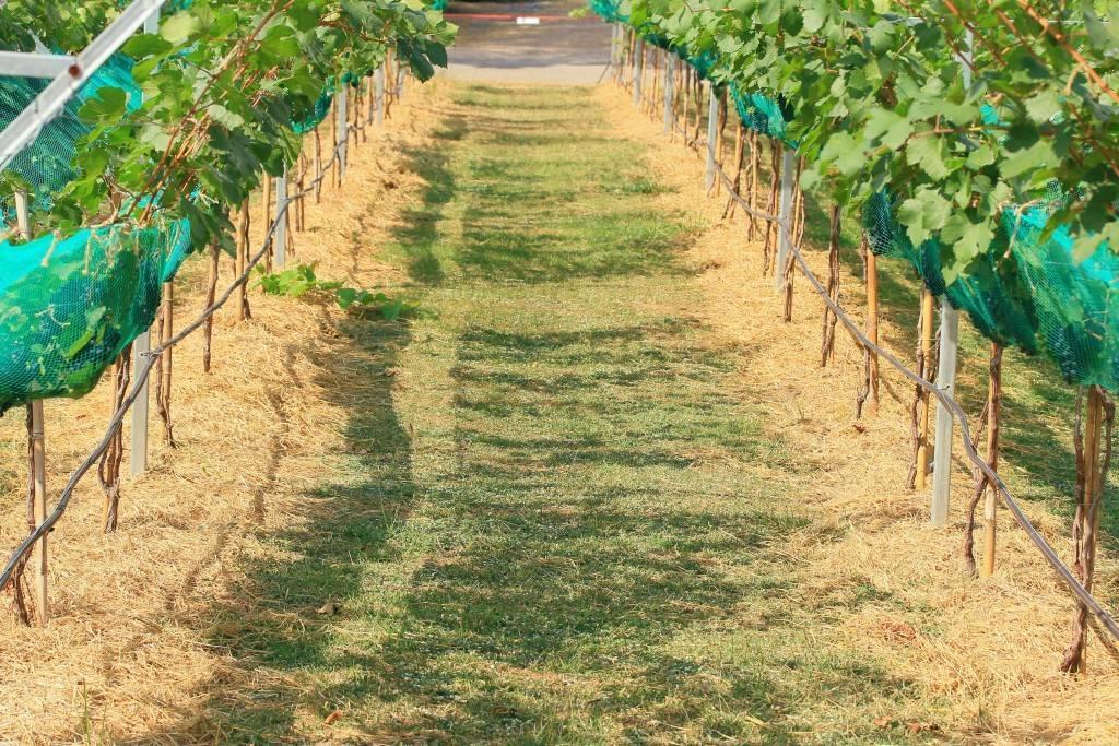 Описание гибрида винограда «дикси»: посадка, уход, фото, отзывы