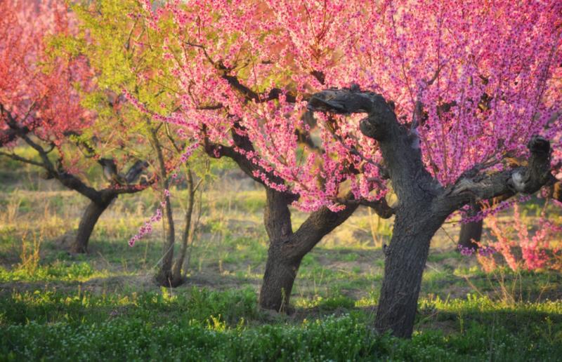Курчавость листьев персика: как лечить болезни персика, симптомы, описание с фото и меры защиты