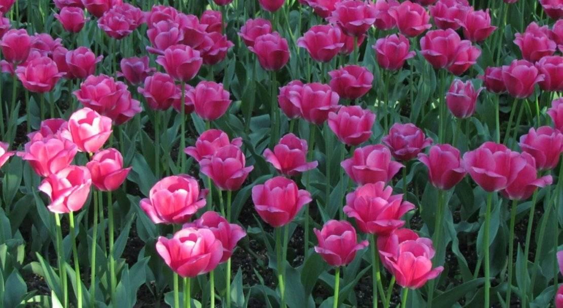 Описание лучших сортов попугайных тюльпанов, посадка и уход