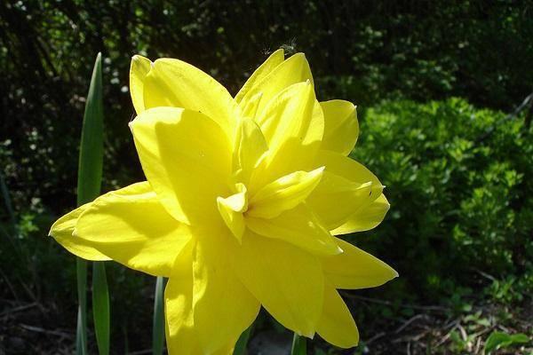 Изящные весенние цветы: посадка и уход за нарциссами