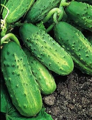 Огурец «парижский корнишон»: характеристика и описание сорта, выращивание в открытом грунте и в теплице