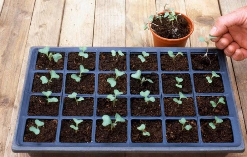 Сорт красной капусты: посадка, выращивание и уход в открытом грунте