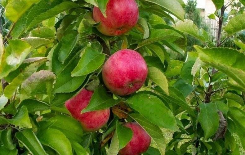 Описание колоновидной яблони триумф
