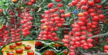 Экзотический сорт от известного оригинатора брэда геййса — томат каскад лава: отзывы и описание