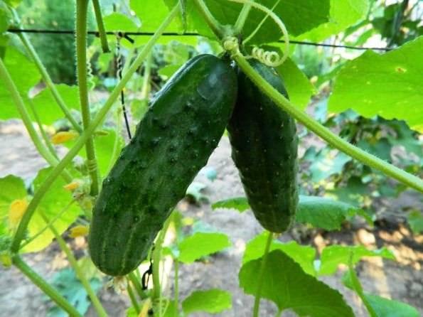 Огурец хабар: описание и характеристика сорта, урожайность с фото