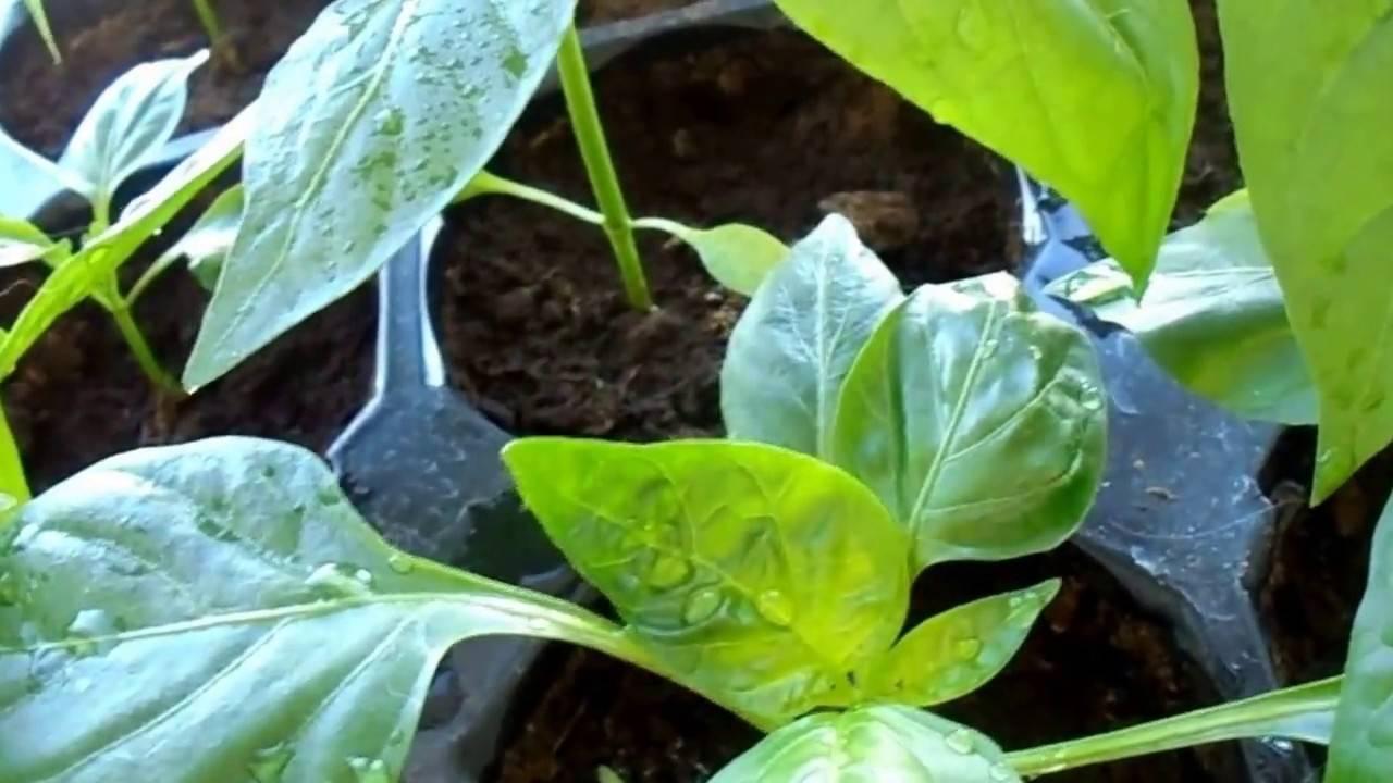 Что делать — опадают и скручиваются листья у рассады перца? причины и способы лечения рассады перца при пожелтении и скручивании листьев