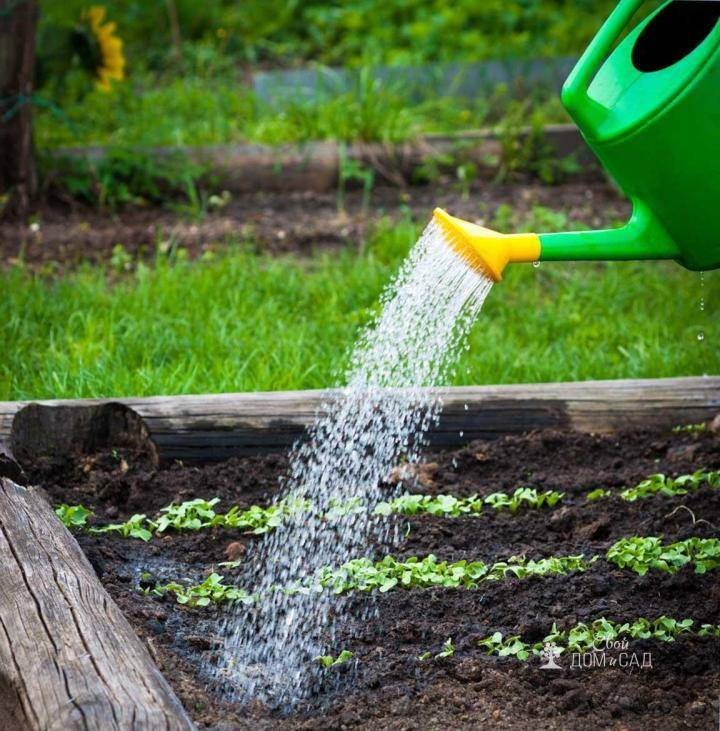 Как часто поливать морковь после посадки