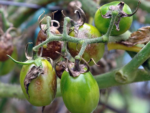 12 эффективных рецептов для борьбы с фитофторой томатов