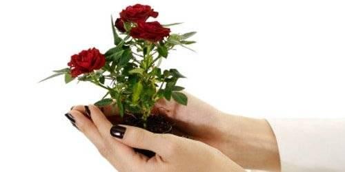 Как правильно посадить и вырастить розу из черенка в домашних условиях
