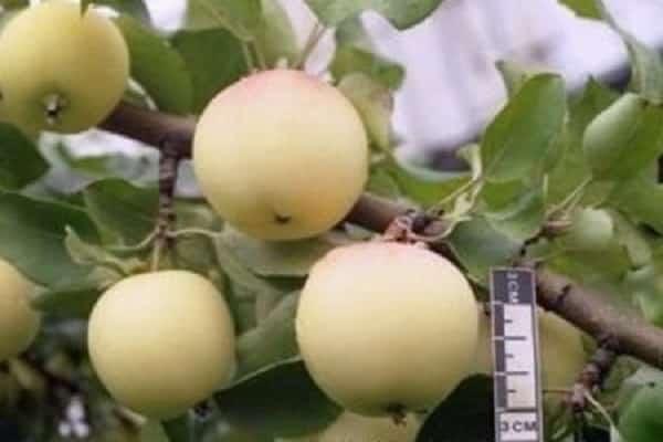 Характеристики и описание сорта яблони Юнга (Белоснежка), отзывы садоводов
