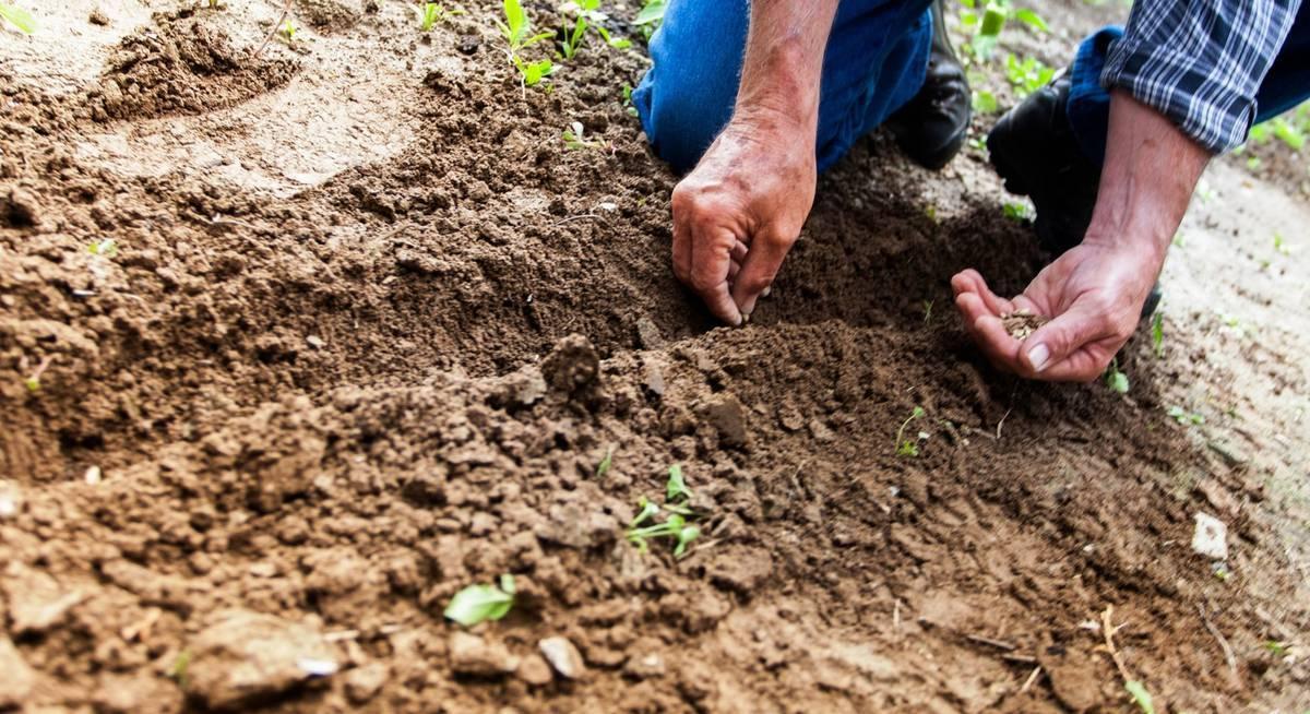 Посадка и выращивание свеклы в отрытом грунте – когда сеять и как правильно ухаживать за свеклой