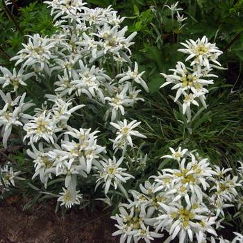 Как выглядит эдельвейс фото. эдельвейс альпийский: описание и выращивание цветка