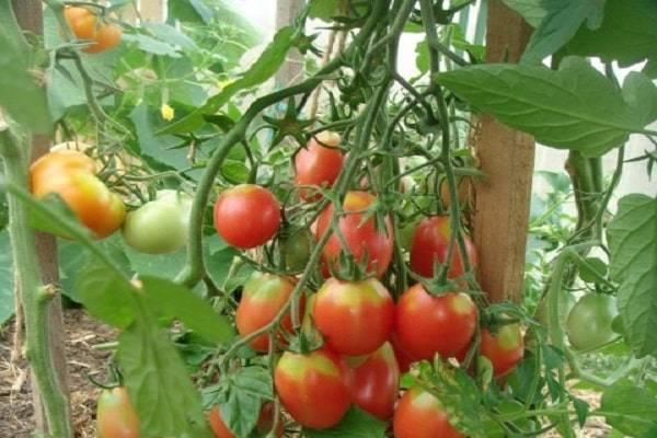 Санька: популярный сорт ранних томатов