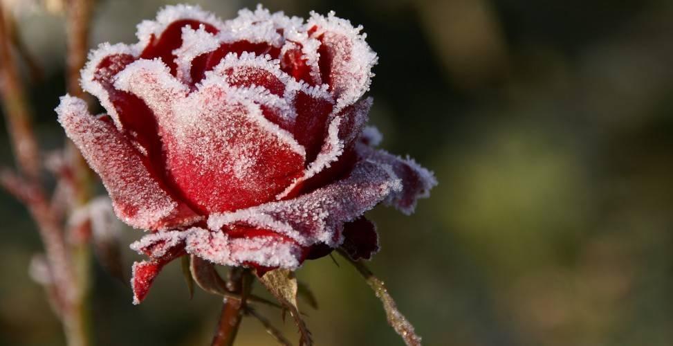 Как укрыть розы на зиму. 5 простых шагов как подготовить розы к зиме.