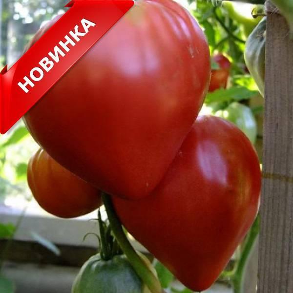 Томат сердечный поцелуй характеристика и описание сорта урожайность с фото