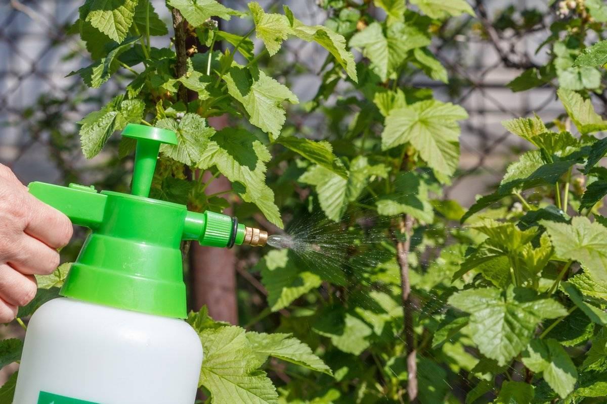 Скручиваются листья у смородины — чем обработать, если морщатся и желтеют — 8 причин