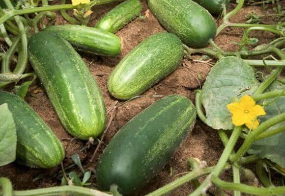 Описание сорта огурца амур, особенности выращивания и ухода