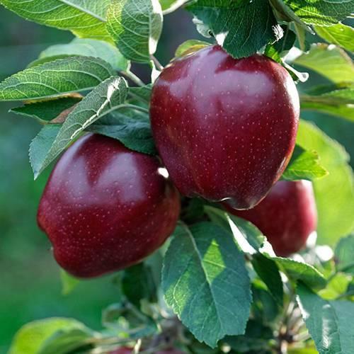 Оценка зимостойкости сортов яблони в слаборослом саду в полевых и лабораторных условиях