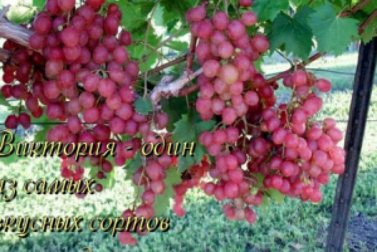 Виноград граф монте-кристо (описание, характеристика сорта)