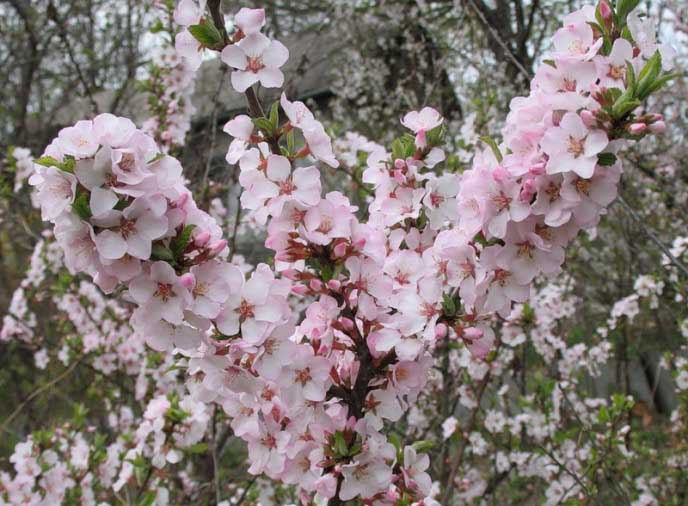 Вишня войлочная – выращивание и уход, размножение и обрезка