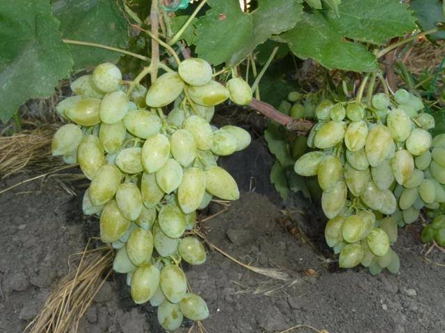 Описание и характеристики сорта винограда ромбик, преимущества и недостатки, выращивание