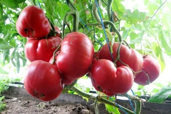 Описание сорта томата Золотой король, особенности выращивания и ухода