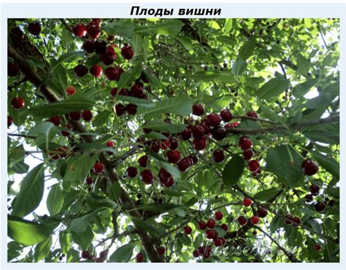 Как сделать приспособление для сбора вишен с высокого дерева своими руками. делаем приспособления для сбора вишни своими руками приспособление для сбора вишни с высокого дерева