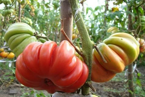 Томат лотарингская красавица. томаты лотарингская красавица: описание сорта