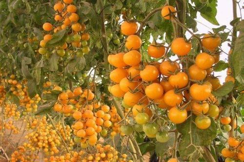 Фото, отзывы, описание, характеристика, урожайность сорта томата «желтая вишня»