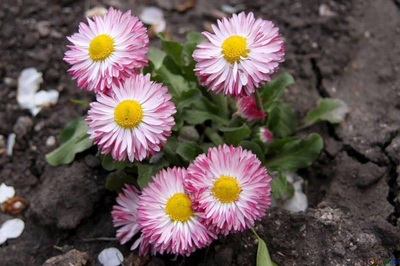 Многолетние цветы скабиоза: выращивание из семян и рассадой