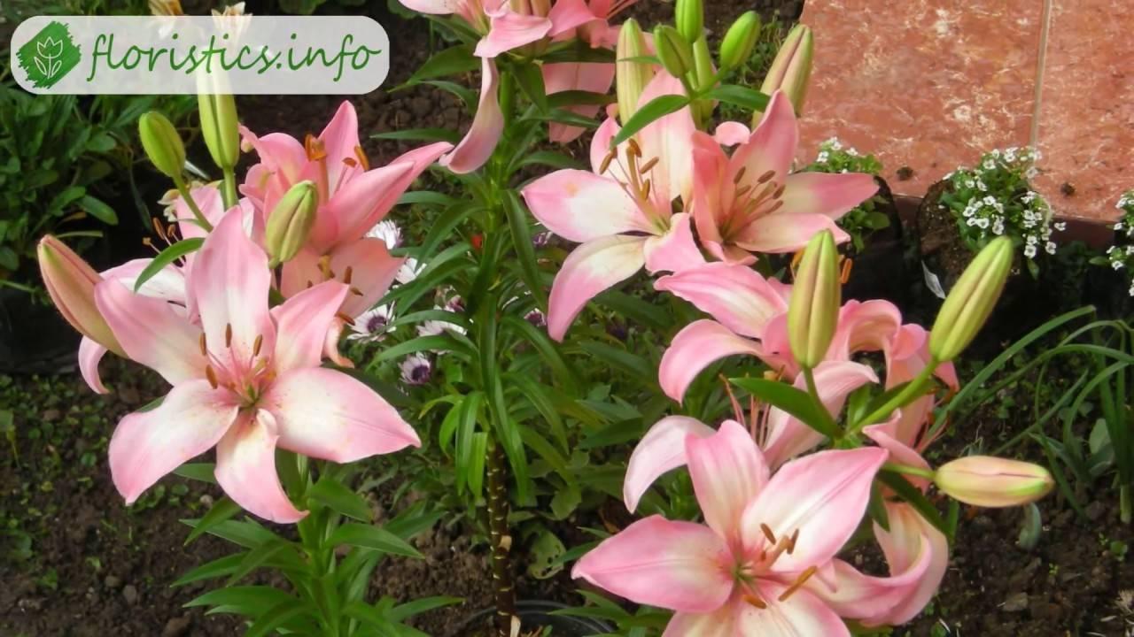 Способы ухода за бесподобным цветком — тигровой лилией
