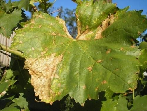 Обработка винограда до и после распускания почек