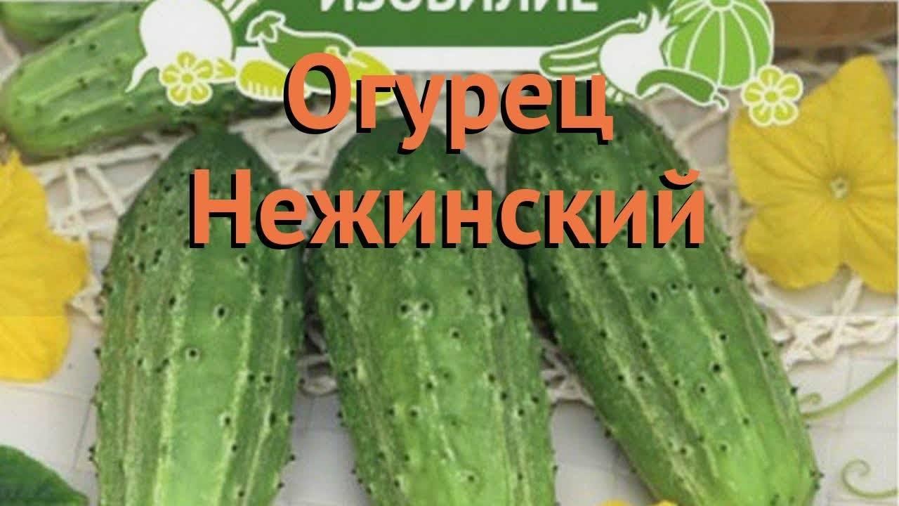 Описание и характеристика сорта огурцов нежинский: посадка и уход