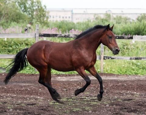 Русская верховая порода лошадей: история происхождения, особенности содержания