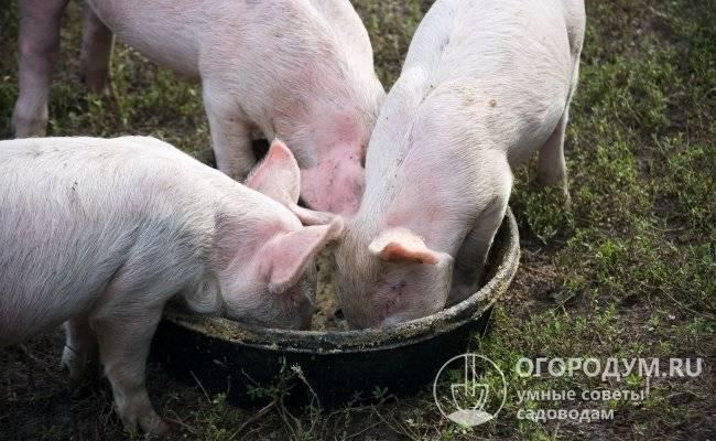 Достоинства и недостатки применения стимуляторов роста для свиней