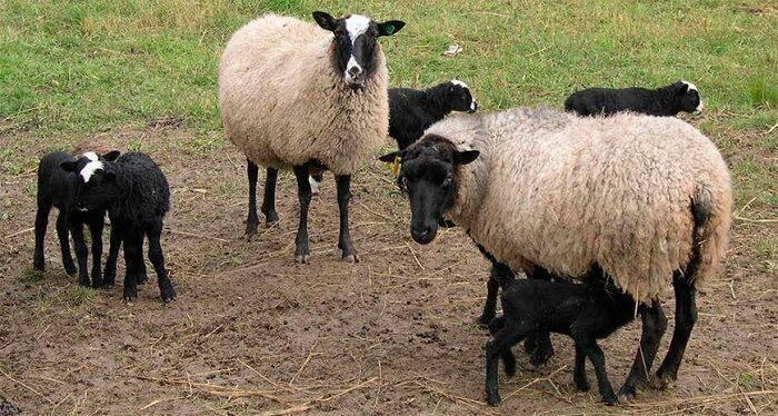 Основная продукция животноводства