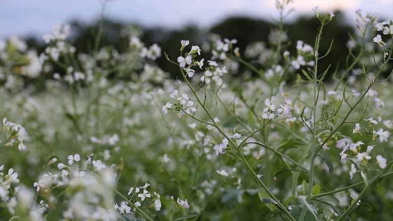 Эффективное удобрение и сидерат для почвы — редька масличная
