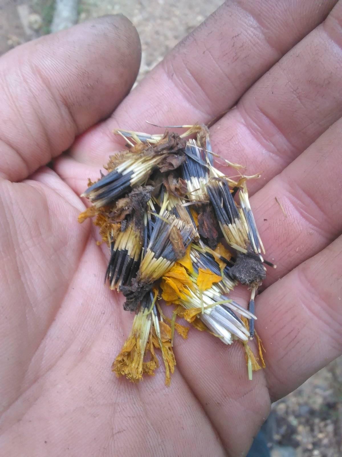 Реально ли вырастить бархатцы в горшках? особенности выращивания этих цветов дома