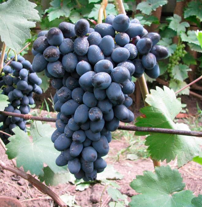 Описания винограда розовый жемчуг