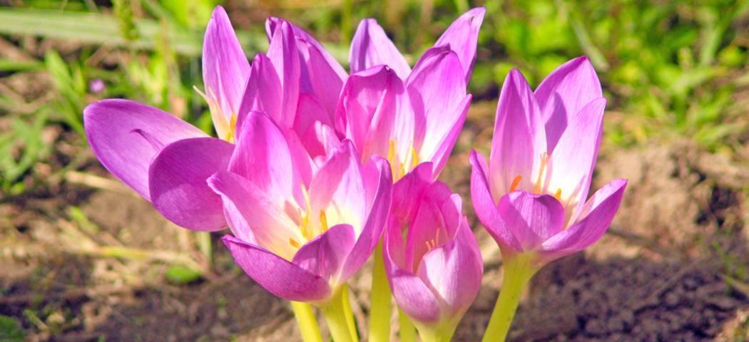 Безвременник цветок