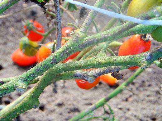 Как бороться с фитофторой на помидорах в теплице и открытом грунте