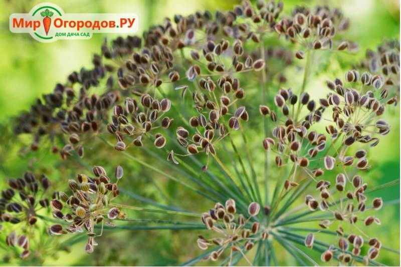Срок хранения семян укропа для посадки: сколько годен