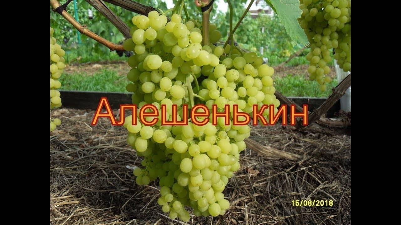Сорт винограда алешенькин: описание, выращивание и уход