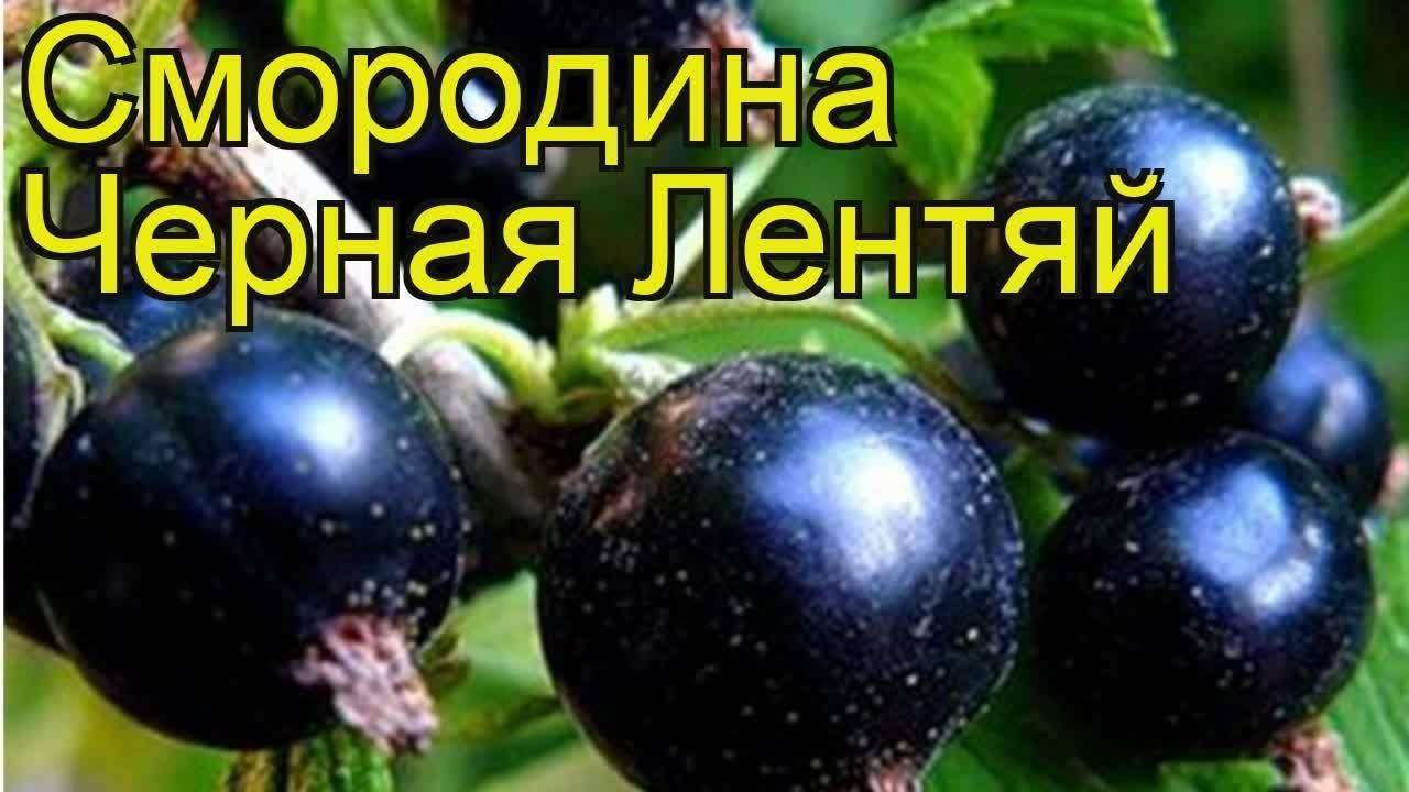 Чёрная смородина лентяй: описание сорта и его особенности