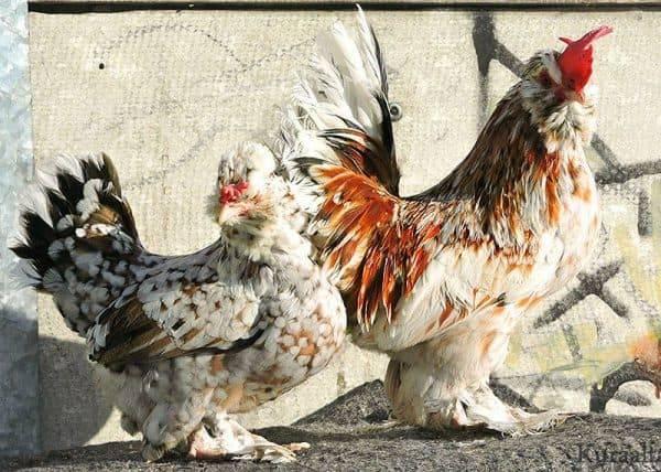 Феникс (порода кур)