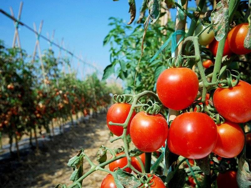 Характеристика и описание сорта томата ляна, его урожайность